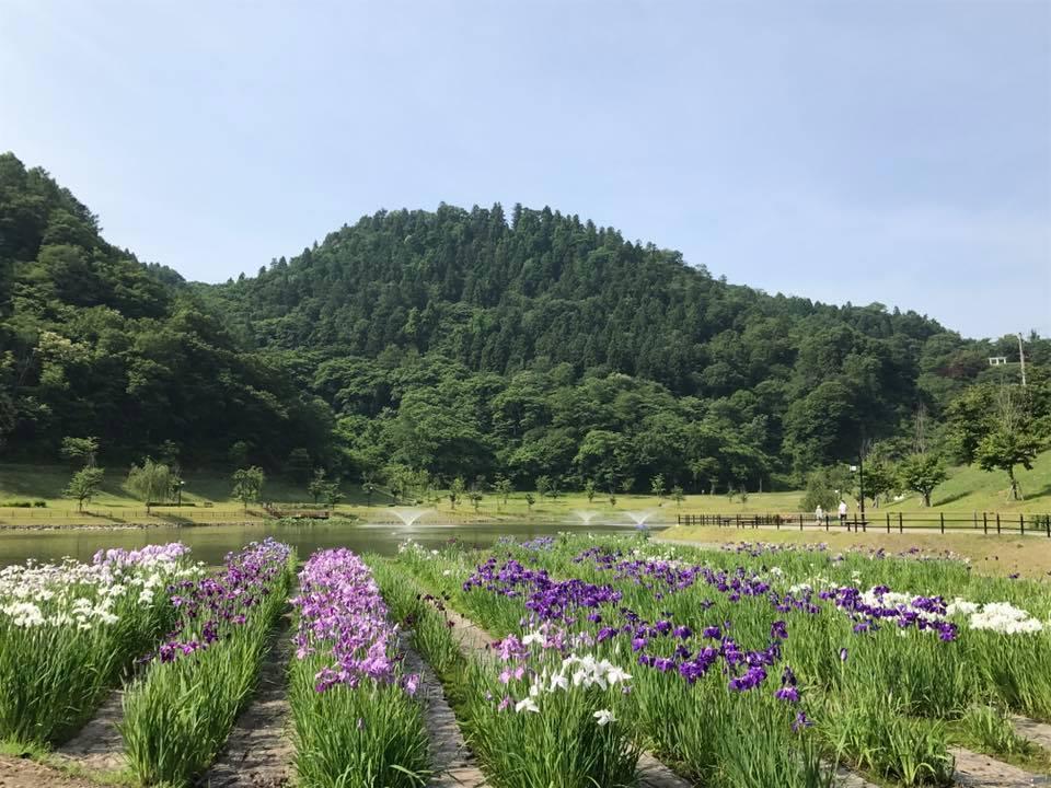 舞鶴山 天童公園 愛宕沼 アヤメ