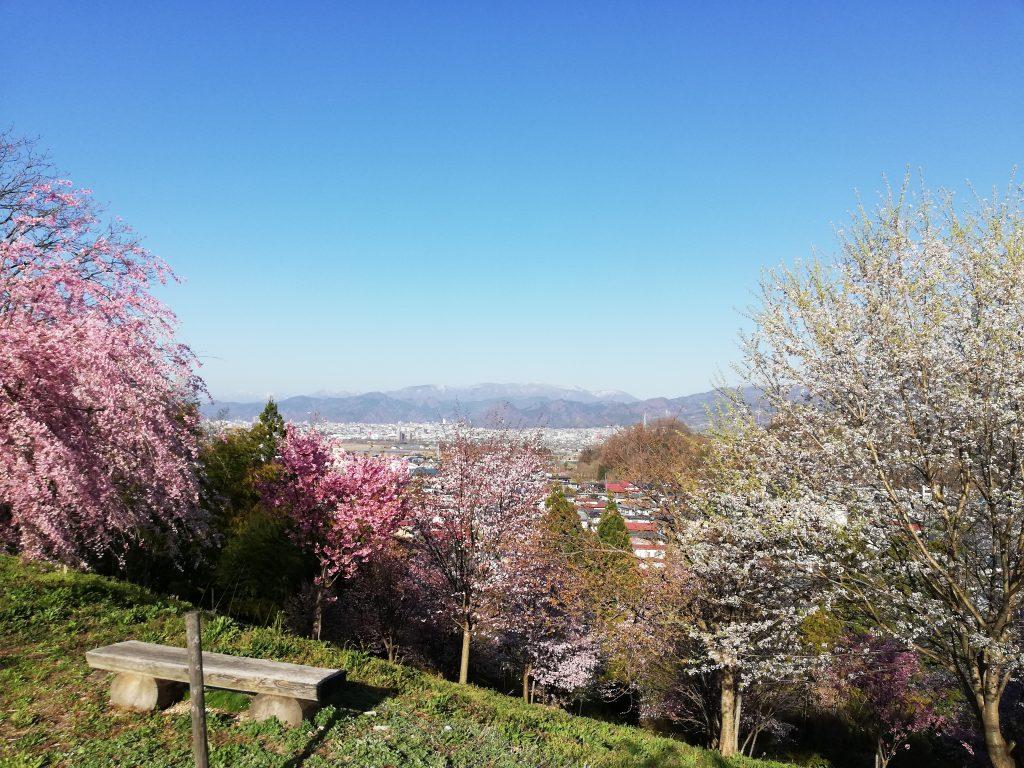 城山 山形百名山 桜