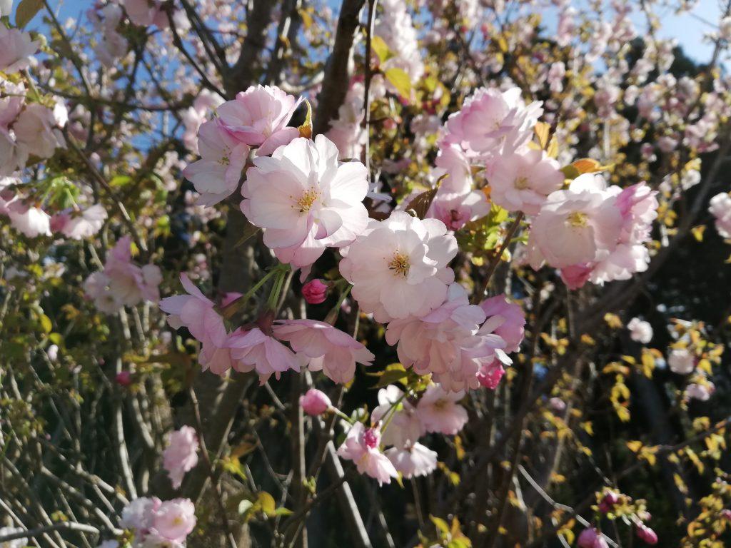 天狗山 山形百名山 登山道 桜