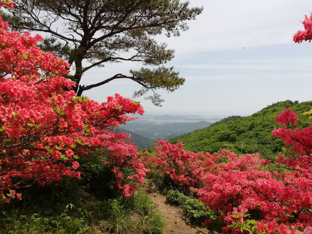 宮城県 徳仙丈山 つつじ祭り